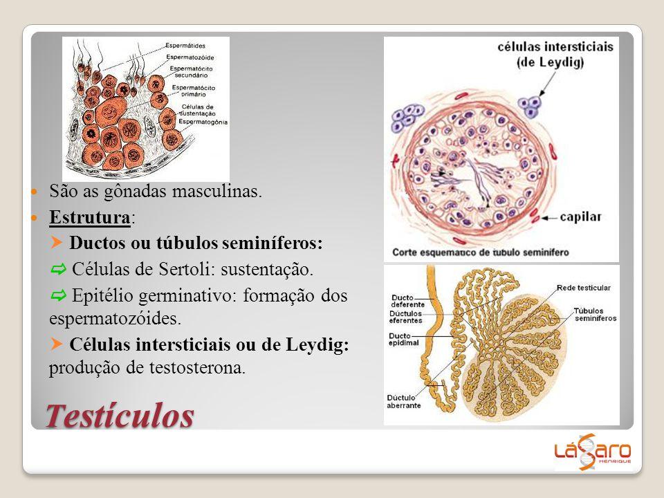 T estículos  São as gônadas masculinas.  Estrutura:  Ductos ou túbulos seminíferos:  Células de Sertoli: sustentação.  Epitélio germinativo: form