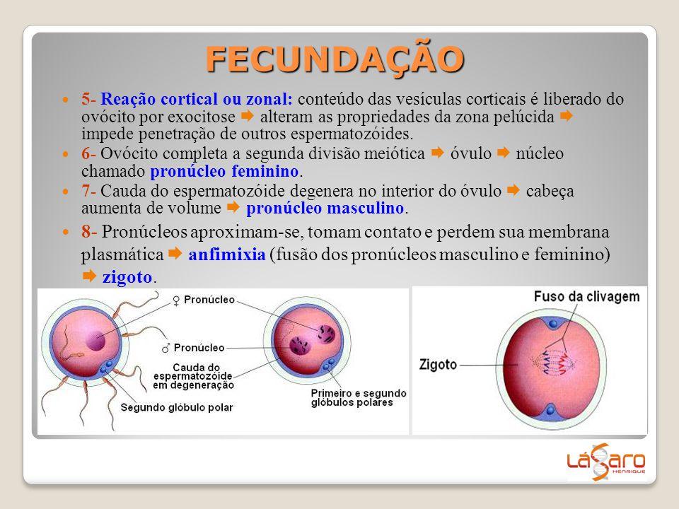 FECUNDAÇÃO  5- Reação cortical ou zonal: conteúdo das vesículas corticais é liberado do ovócito por exocitose  alteram as propriedades da zona pelúc