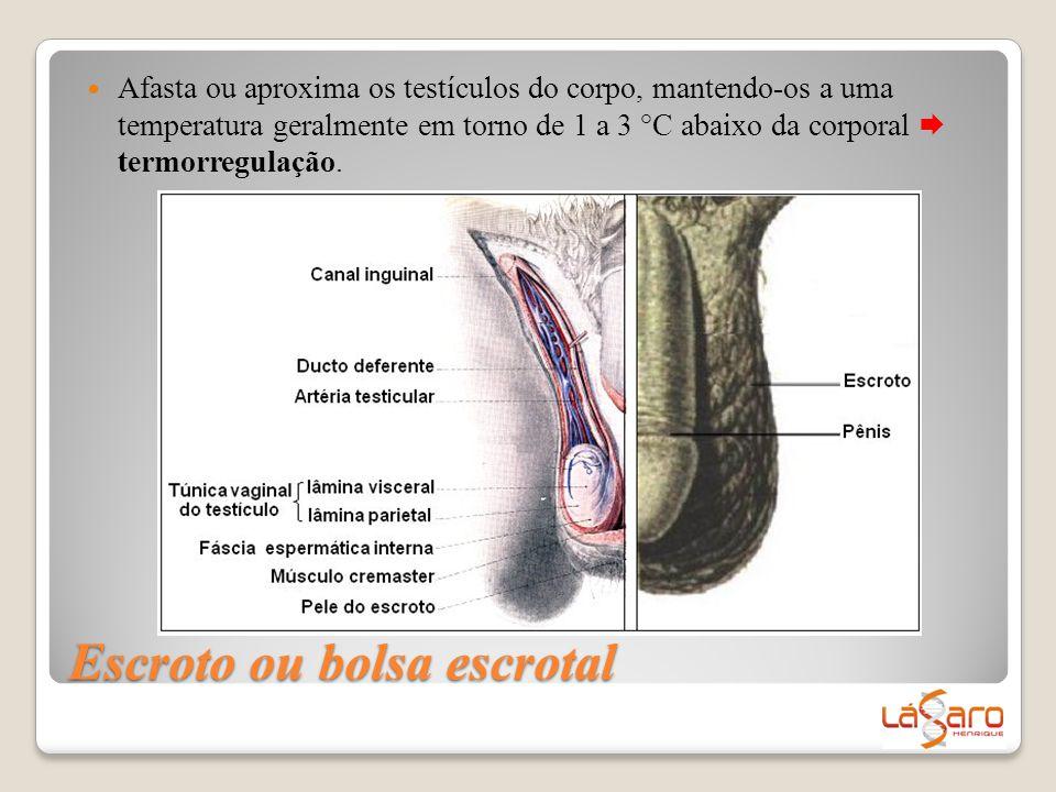 Escroto ou bolsa escrotal  Afasta ou aproxima os testículos do corpo, mantendo-os a uma temperatura geralmente em torno de 1 a 3 °C abaixo da corpora