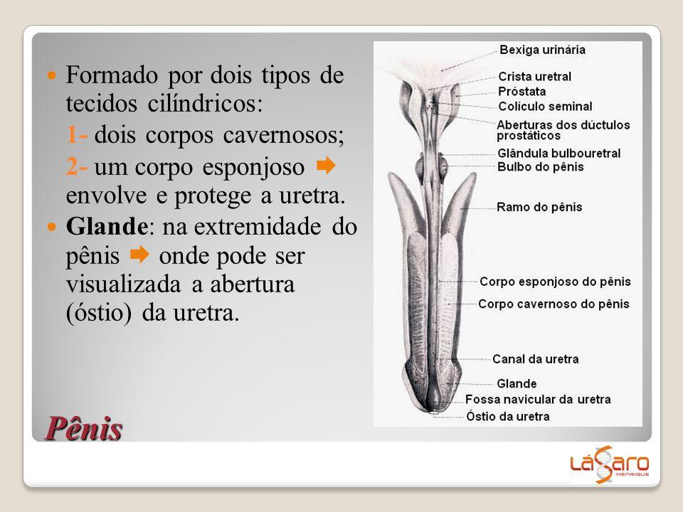 Pênis  Formado por dois tipos de tecidos cilíndricos: 1- dois corpos cavernosos; 2- um corpo esponjoso  envolve e protege a uretra.  Glande: na ext