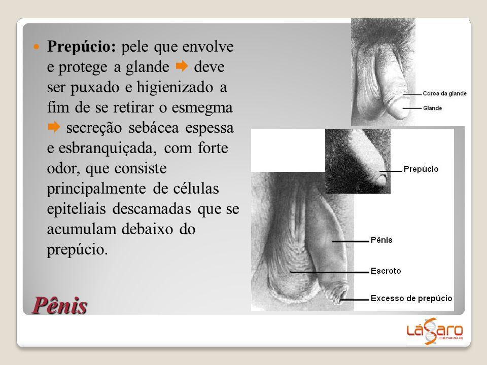 Pênis  Prepúcio: pele que envolve e protege a glande  deve ser puxado e higienizado a fim de se retirar o esmegma  secreção sebácea espessa e esbra