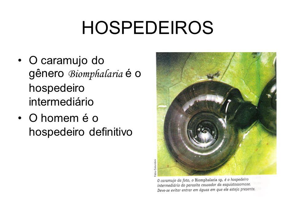 HOSPEDEIROS •O caramujo do gênero Biomphalaria é o hospedeiro intermediário •O homem é o hospedeiro definitivo