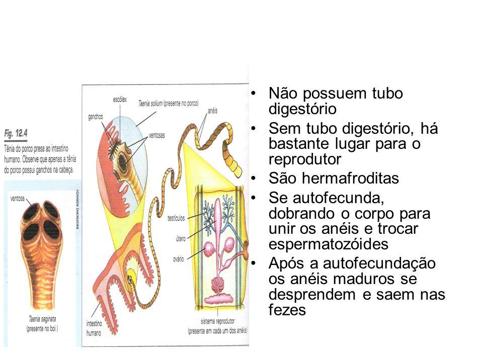 •Não possuem tubo digestório •Sem tubo digestório, há bastante lugar para o reprodutor •São hermafroditas •Se autofecunda, dobrando o corpo para unir