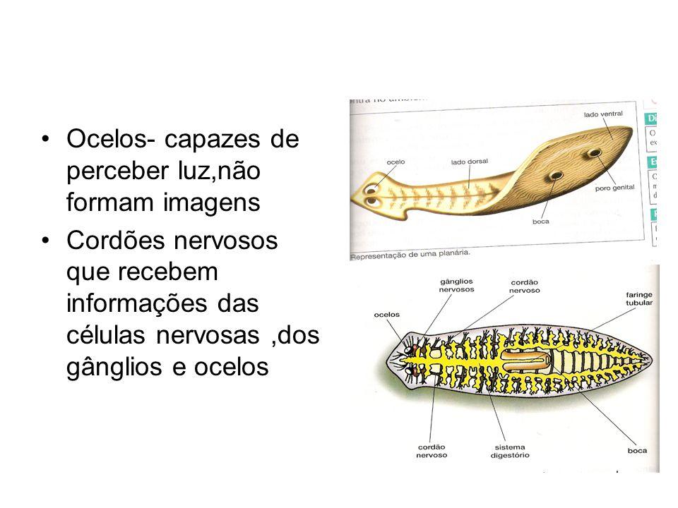 •Ocelos- capazes de perceber luz,não formam imagens •Cordões nervosos que recebem informações das células nervosas,dos gânglios e ocelos