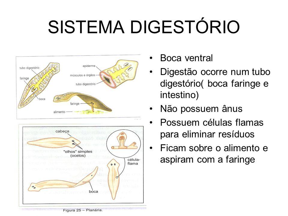 SISTEMA DIGESTÓRIO •Boca ventral •Digestão ocorre num tubo digestório( boca faringe e intestino) •Não possuem ânus •Possuem células flamas para elimin
