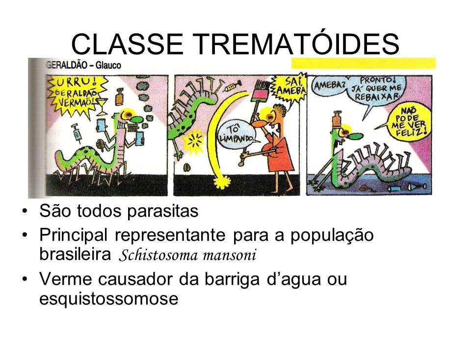 CLASSE TREMATÓIDES •São todos parasitas •Principal representante para a população brasileira Schistosoma mansoni •Verme causador da barriga d'agua ou