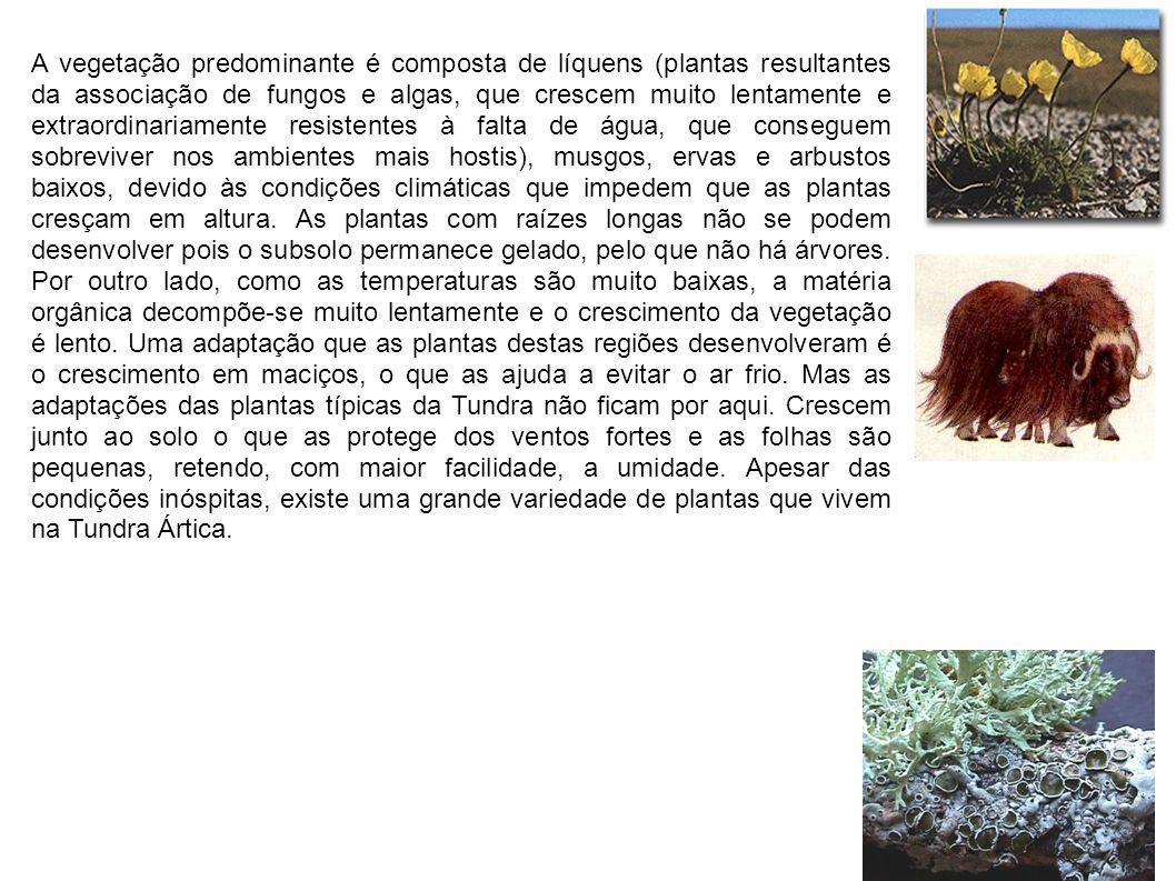 A vegetação predominante é composta de líquens (plantas resultantes da associação de fungos e algas, que crescem muito lentamente e extraordinariament