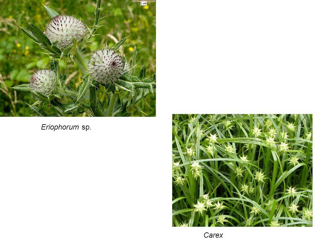 Eriophorum sp. Carex