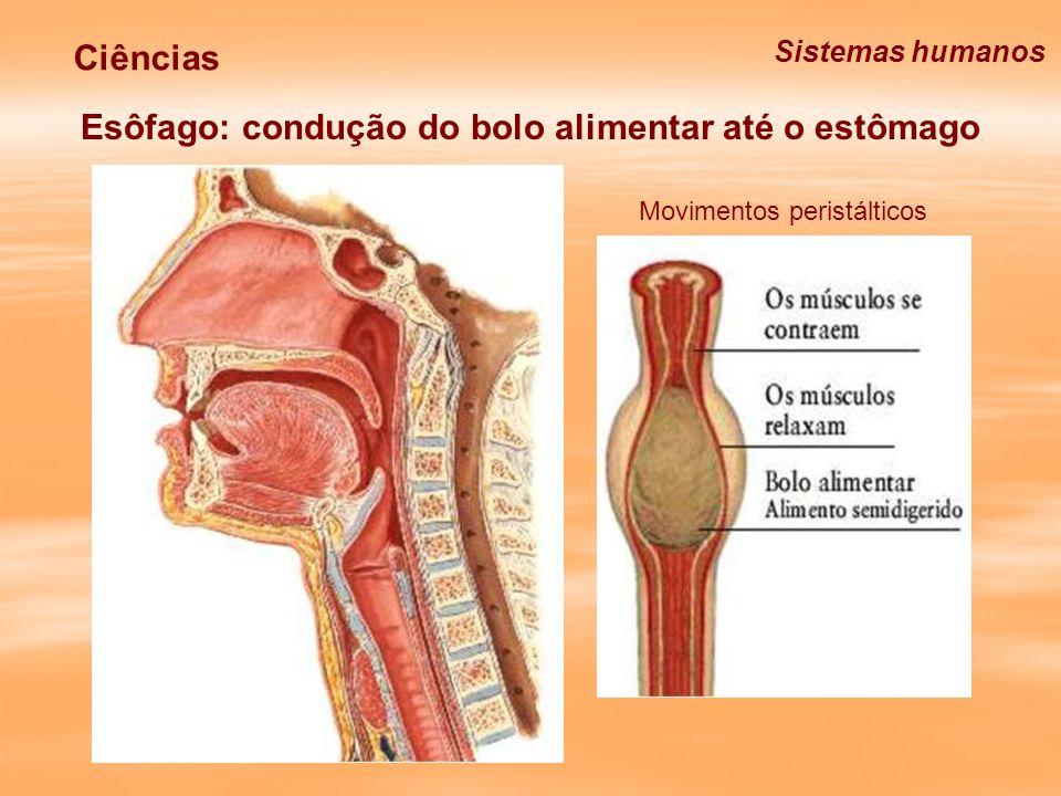 Esôfago: condução do bolo alimentar até o estômago Movimentos peristálticos Ciências Sistemas humanos