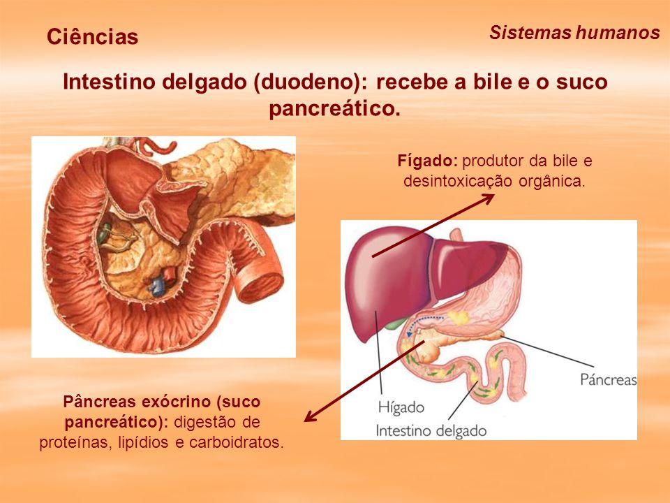 Intestino delgado (jejuno e íleo): continuação da digestão (suco entérico) e absorção de micronutrientes.