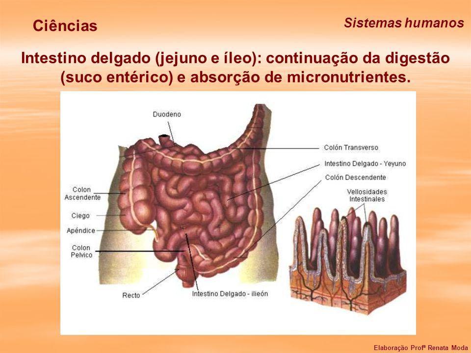 Intestino delgado (jejuno e íleo): continuação da digestão (suco entérico) e absorção de micronutrientes. Ciências Sistemas humanos Elaboração Profª R