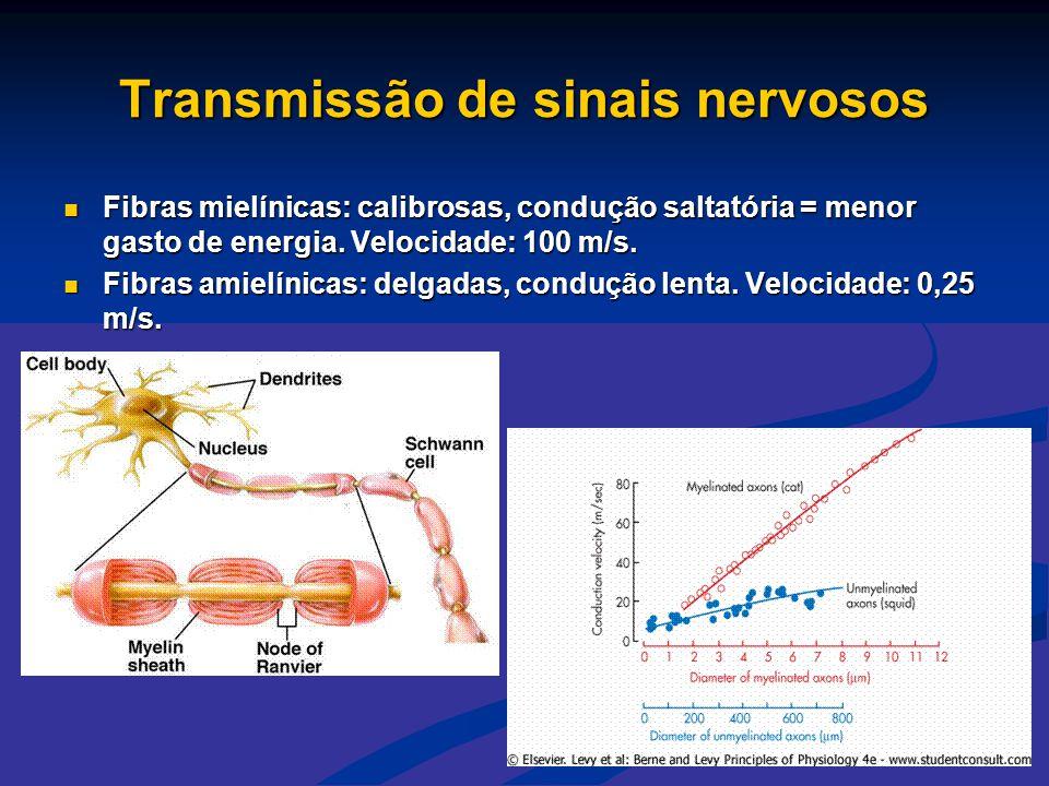 Transmissão de sinais nervosos  Fibras mielínicas: calibrosas, condução saltatória = menor gasto de energia. Velocidade: 100 m/s.  Fibras amielínica