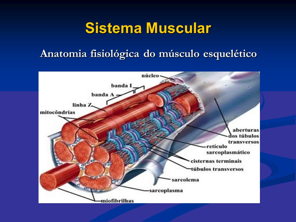 Sistema Muscular Anatomia fisiológica do músculo esquelético