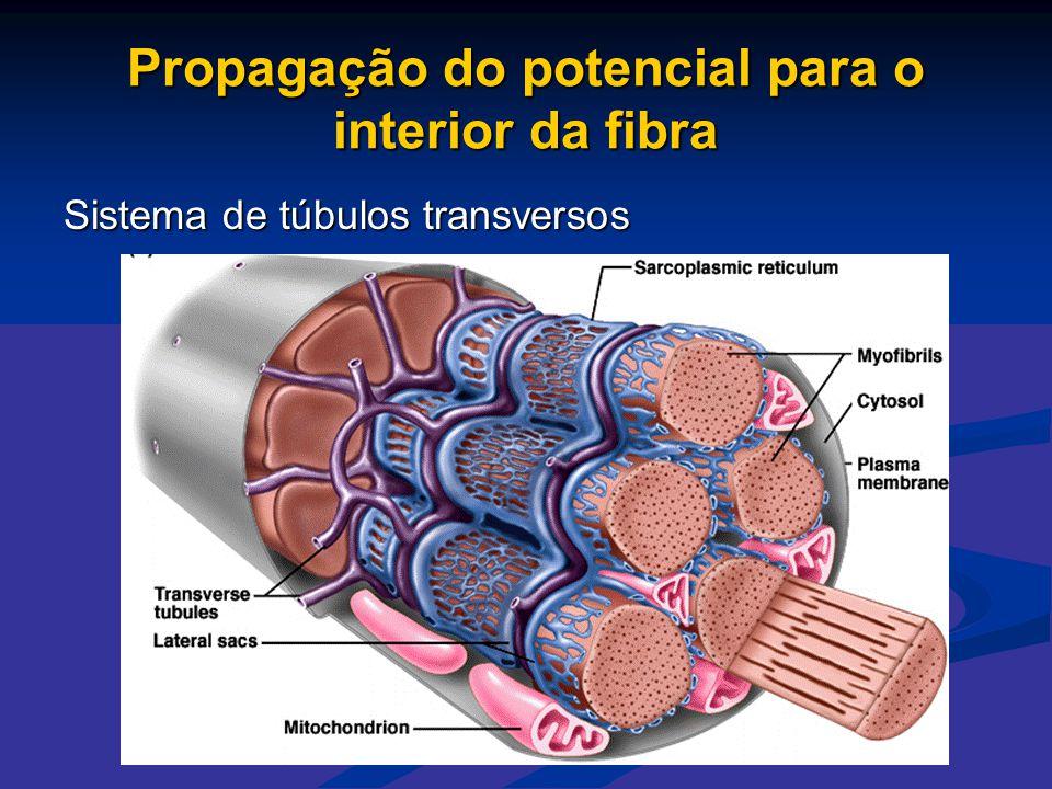 Propagação do potencial para o interior da fibra Sistema de túbulos transversos