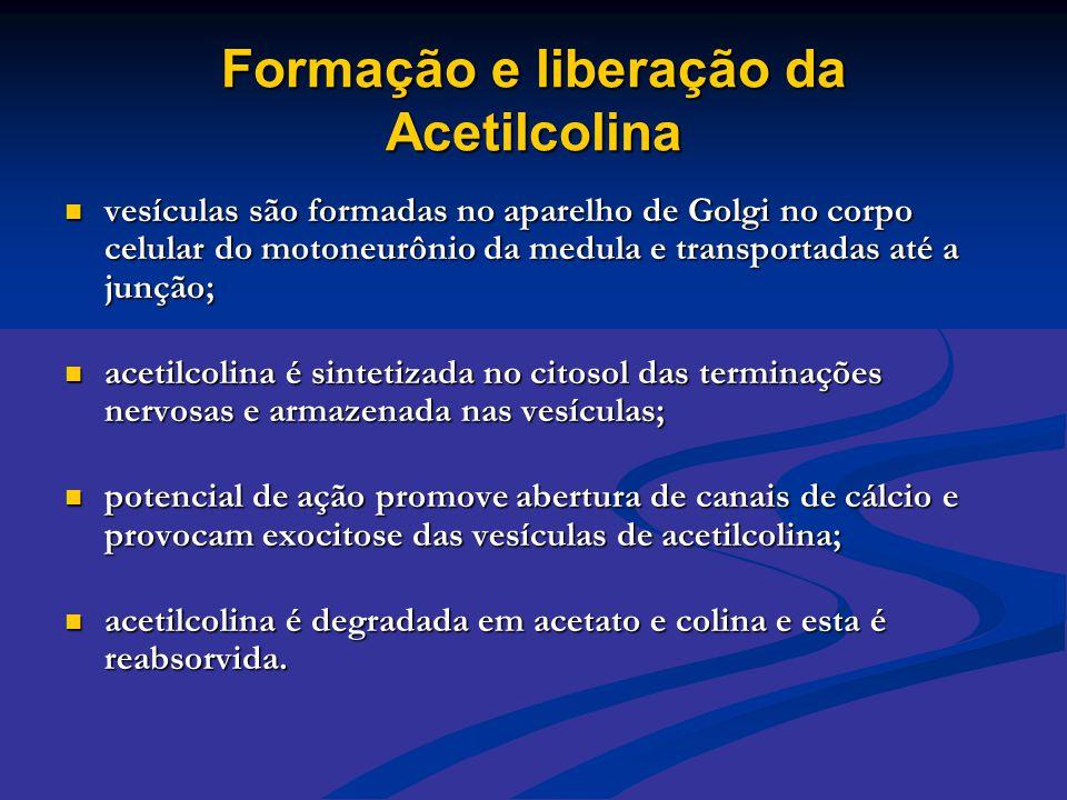 Formação e liberação da Acetilcolina  vesículas são formadas no aparelho de Golgi no corpo celular do motoneurônio da medula e transportadas até a ju