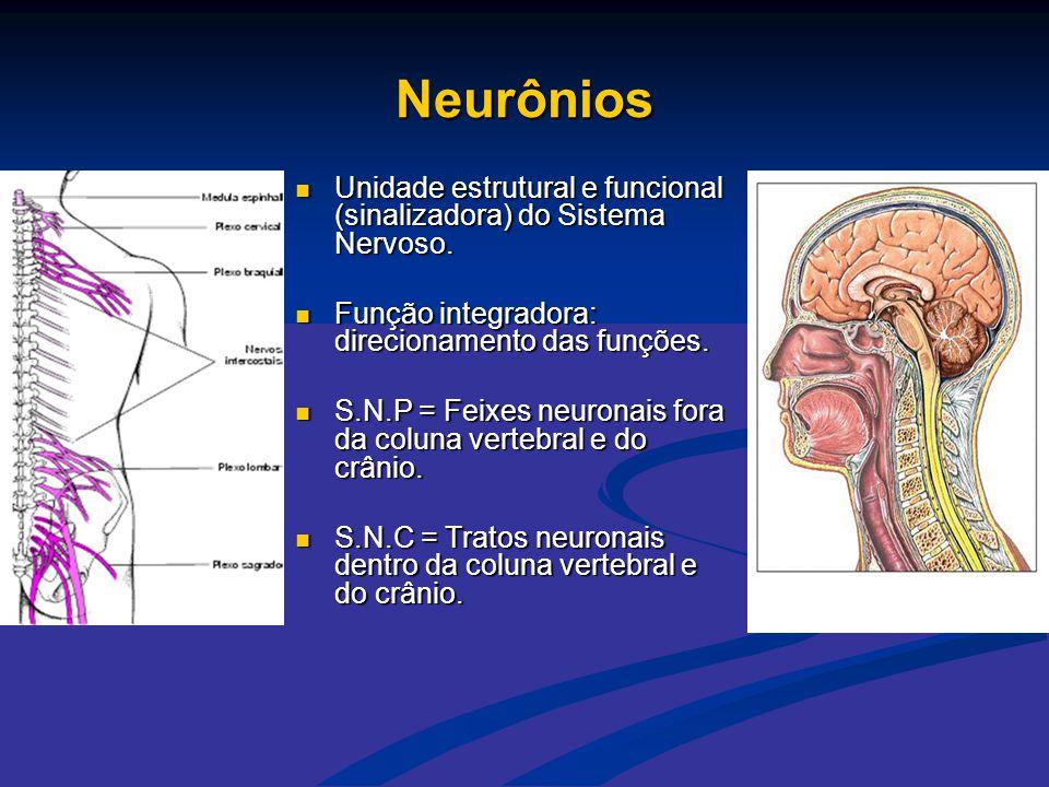 Neurônios  Unidade estrutural e funcional (sinalizadora) do Sistema Nervoso.  Função integradora: direcionamento das funções.  S.N.P = Feixes neuro