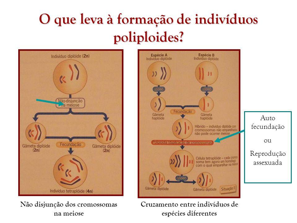 O que leva à formação de indivíduos poliploides? Não disjunção dos cromossomas na meiose Cruzamento entre indivíduos de espécies diferentes Auto fecun