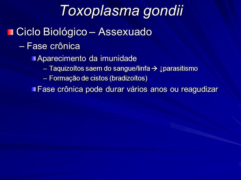 Toxoplasma gondii Ciclo Biológico – Assexuado –Fase crônica Aparecimento da imunidade –Taquizoítos saem do sangue/linfa  ↓parasitismo –Formação de ci