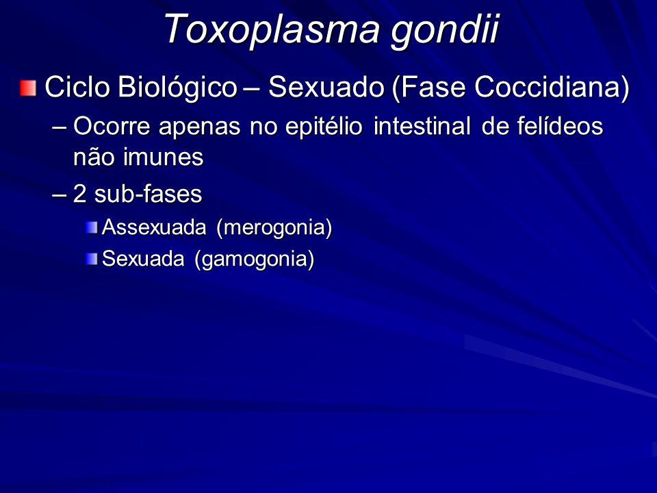 Toxoplasma gondii Ciclo Biológico – Sexuado (Fase Coccidiana) –Ocorre apenas no epitélio intestinal de felídeos não imunes –2 sub-fases Assexuada (mer