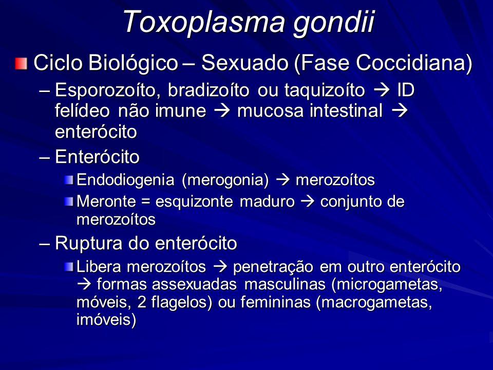 Toxoplasma gondii Ciclo Biológico – Sexuado (Fase Coccidiana) –Esporozoíto, bradizoíto ou taquizoíto  ID felídeo não imune  mucosa intestinal  ente
