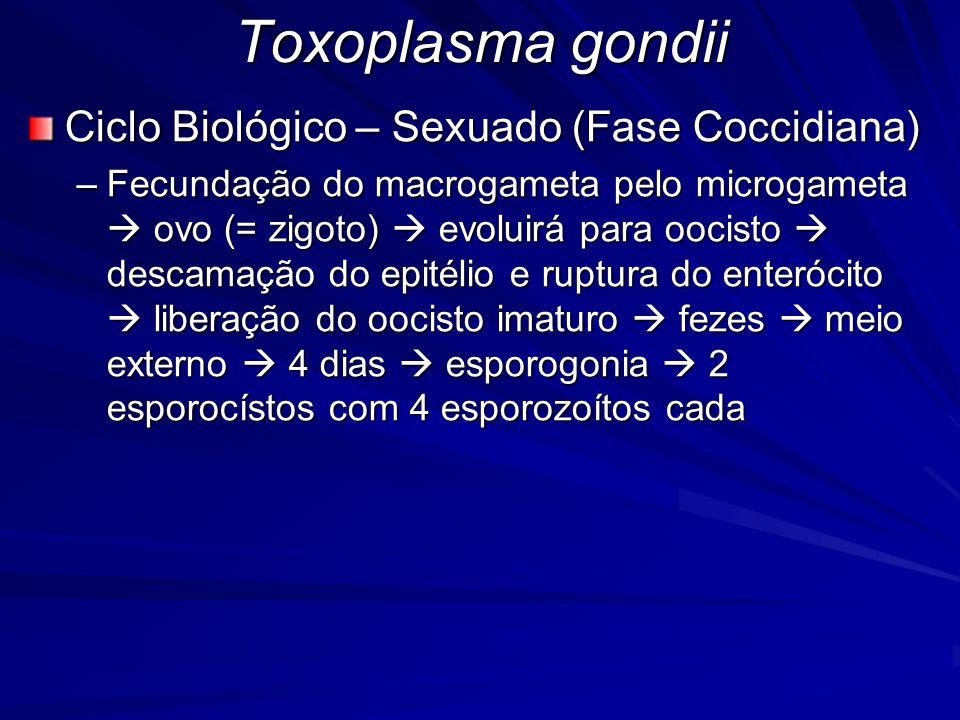 Toxoplasma gondii Ciclo Biológico – Sexuado (Fase Coccidiana) –Fecundação do macrogameta pelo microgameta  ovo (= zigoto)  evoluirá para oocisto  d