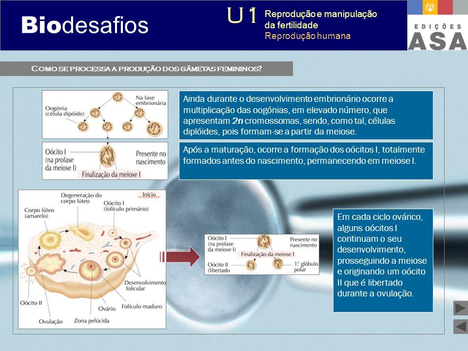 Biodesafios 12 Como se processa a produção dos gâmetas femininos? Ainda durante o desenvolvimento embrionário ocorre a multiplicação das oogónias, em