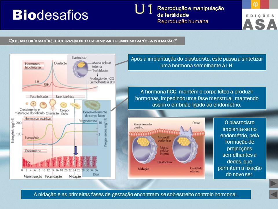 Biodesafios 12 Após a implantação do blastocisto, este passa a sintetizar uma hormona semelhante à LH. O blastocisto implanta-se no endométrio, pela f