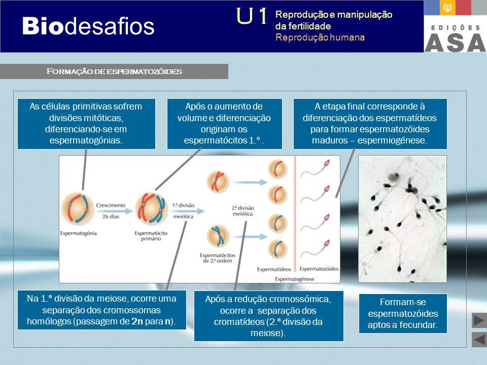 Biodesafios 12 Formação de espermatozóides Formam-se espermatozóides aptos a fecundar. As células primitivas sofrem divisões mitóticas, diferenciando-
