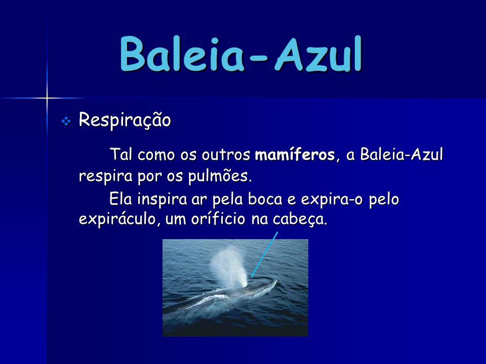 Baleia-Azul RRRRespiração Tal como os outros mamíferos, a Baleia-Azul respira por os pulmões. Ela inspira ar pela boca e expira-o pelo expiráculo,
