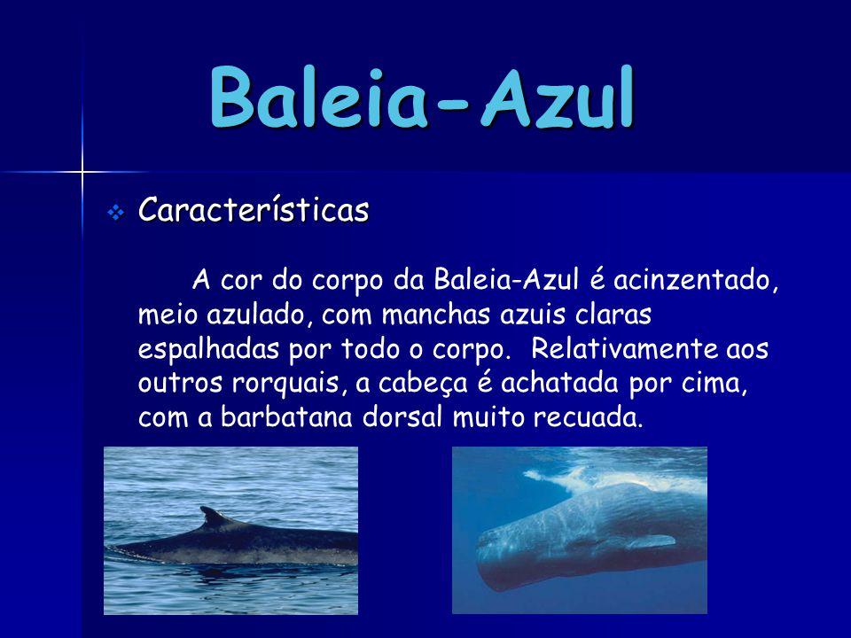  Características A cor do corpo da Baleia-Azul é acinzentado, meio azulado, com manchas azuis claras espalhadas por todo o corpo. Relativamente aos o