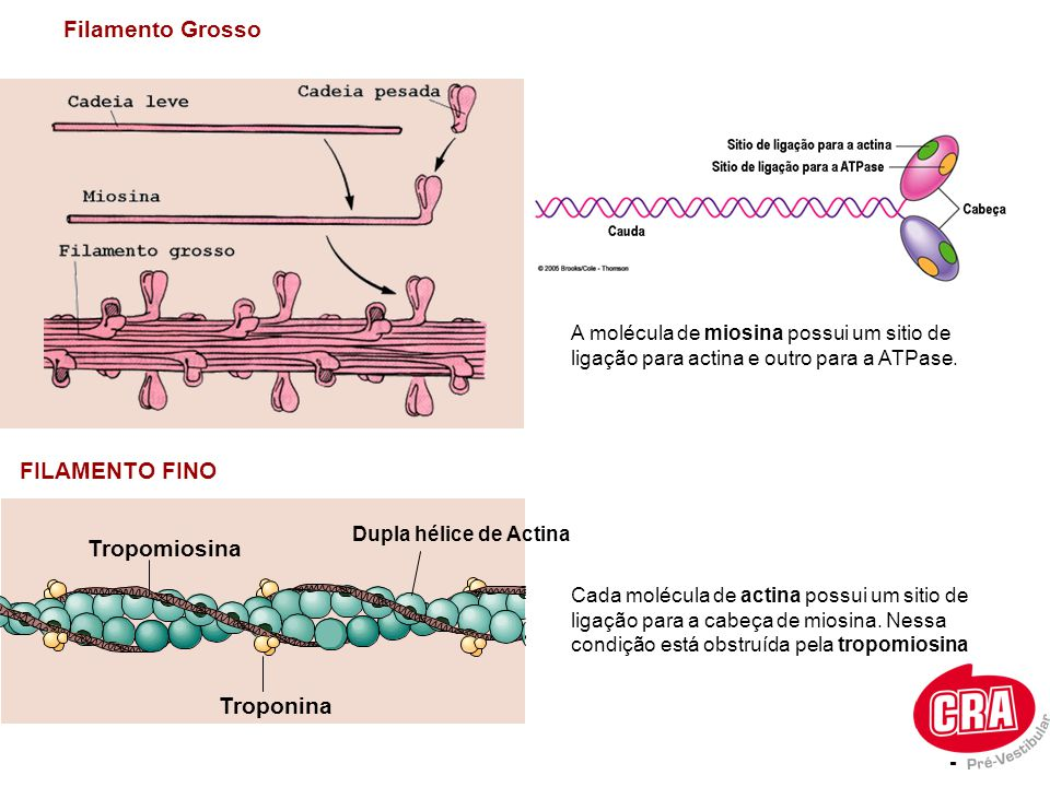 Filamento Grosso FILAMENTO FINO A molécula de miosina possui um sitio de ligação para actina e outro para a ATPase. Troponina Tropomiosina - Dupla hél