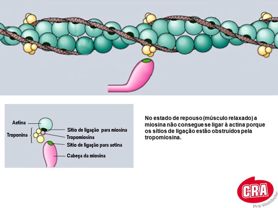 No estado de repouso (músculo relaxado) a miosina não consegue se ligar à actina porque os sítios de ligação estão obstruídos pela tropomiosina.
