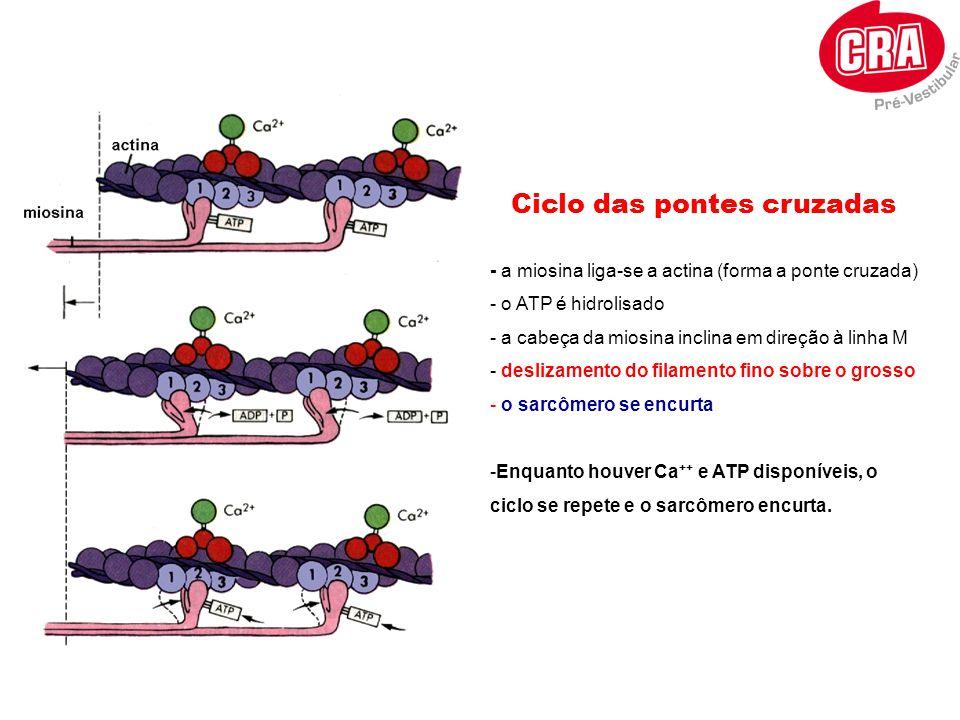 Ciclo das pontes cruzadas - a miosina liga-se a actina (forma a ponte cruzada) - o ATP é hidrolisado - a cabeça da miosina inclina em direção à linha
