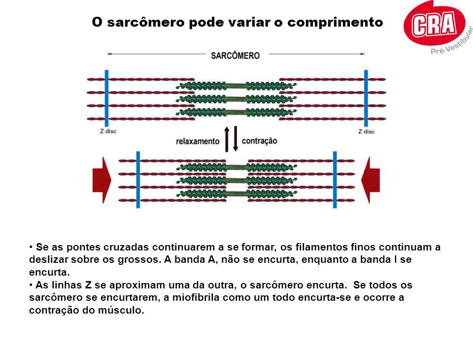 • Se as pontes cruzadas continuarem a se formar, os filamentos finos continuam a deslizar sobre os grossos. A banda A, não se encurta, enquanto a band