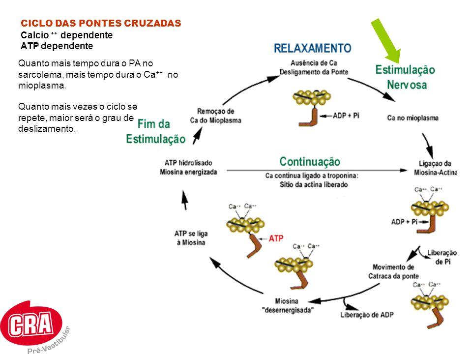 CICLO DAS PONTES CRUZADAS Calcio ++ dependente ATP dependente Quanto mais vezes o ciclo se repete, maior será o grau de deslizamento. Quanto mais temp