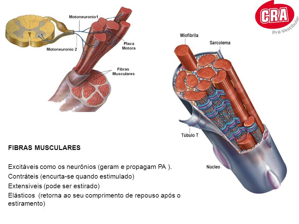 FIBRAS MUSCULARES Excitáveis como os neurônios (geram e propagam PA ). Contráteis (encurta-se quando estimulado) Extensiveis (pode ser estirado) Elást