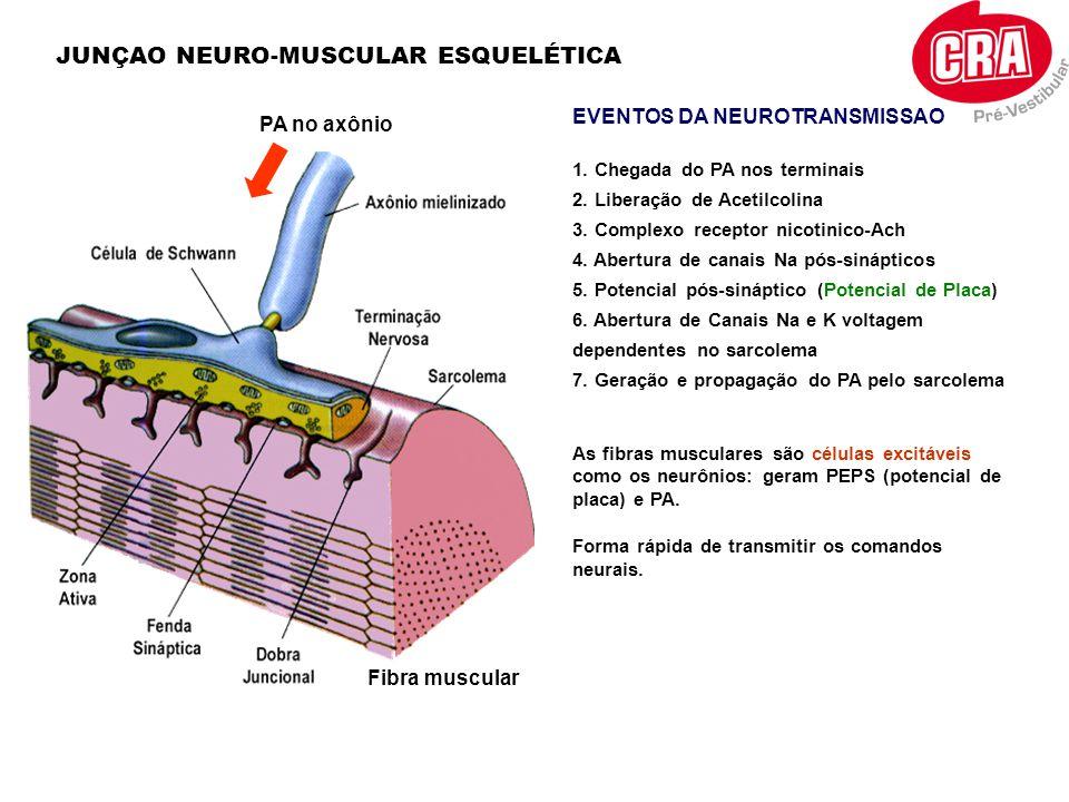 JUNÇAO NEURO-MUSCULAR ESQUELÉTICA EVENTOS DA NEUROTRANSMISSAO 1. Chegada do PA nos terminais 2. Liberação de Acetilcolina 3. Complexo receptor nicotin