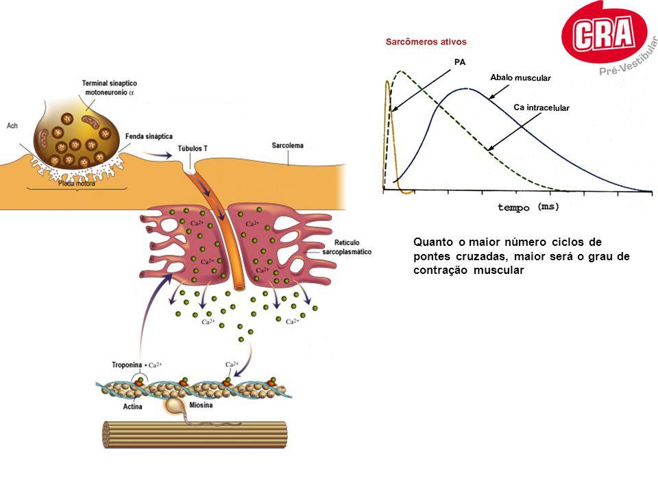 Quanto o maior número ciclos de pontes cruzadas, maior será o grau de contração muscular