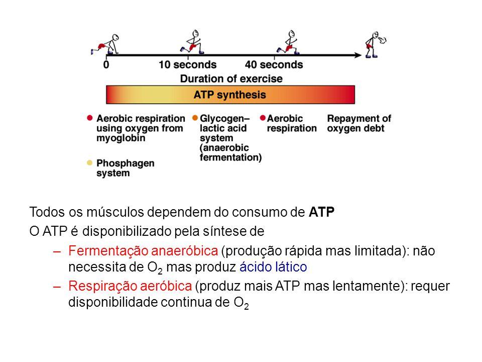 Todos os músculos dependem do consumo de ATP O ATP é disponibilizado pela síntese de –Fermentação anaeróbica (produção rápida mas limitada): não neces