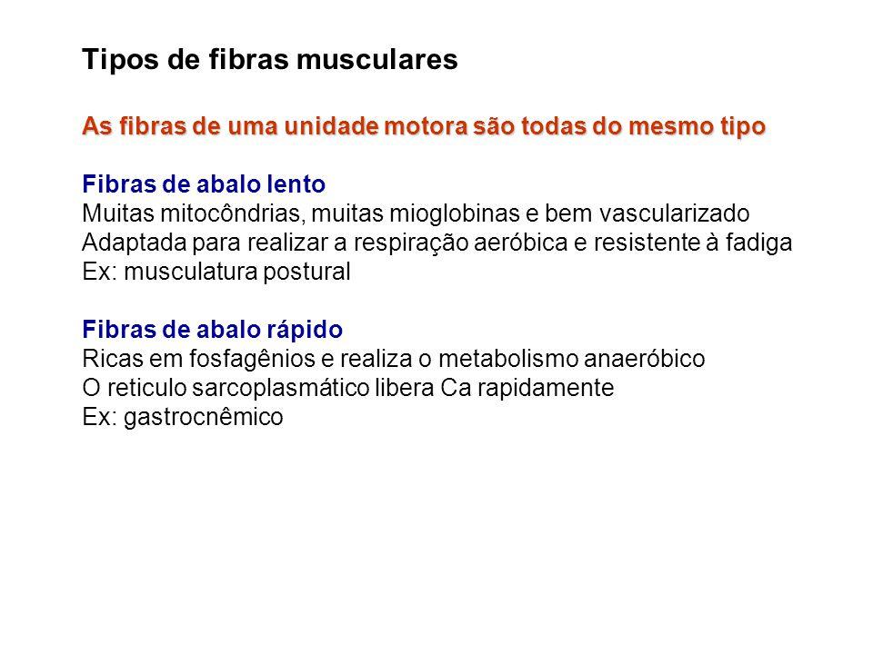 Tipos de fibras musculares As fibras de uma unidade motora são todas do mesmo tipo Fibras de abalo lento Muitas mitocôndrias, muitas mioglobinas e bem
