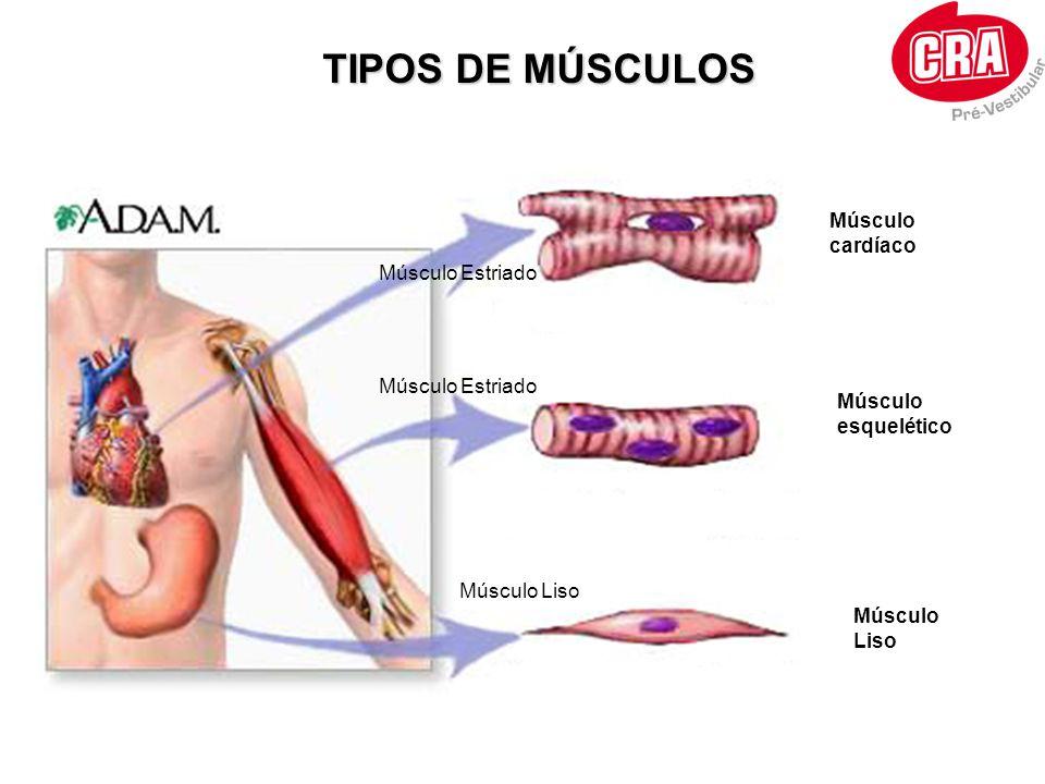 RESPOSTAS MECÂNICAS DO MÚSCULO Fibras musculares neurônio PA ACh ABALO : tensão mecânica isolada do músculo