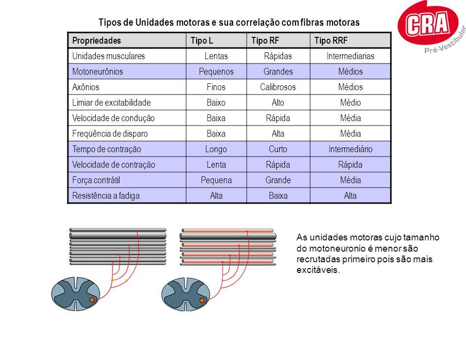 Tipos de Unidades motoras e sua correlação com fibras motoras PropriedadesTipo LTipo RFTipo RRF Unidades muscularesLentasRápidasIntermediarias Motoneu