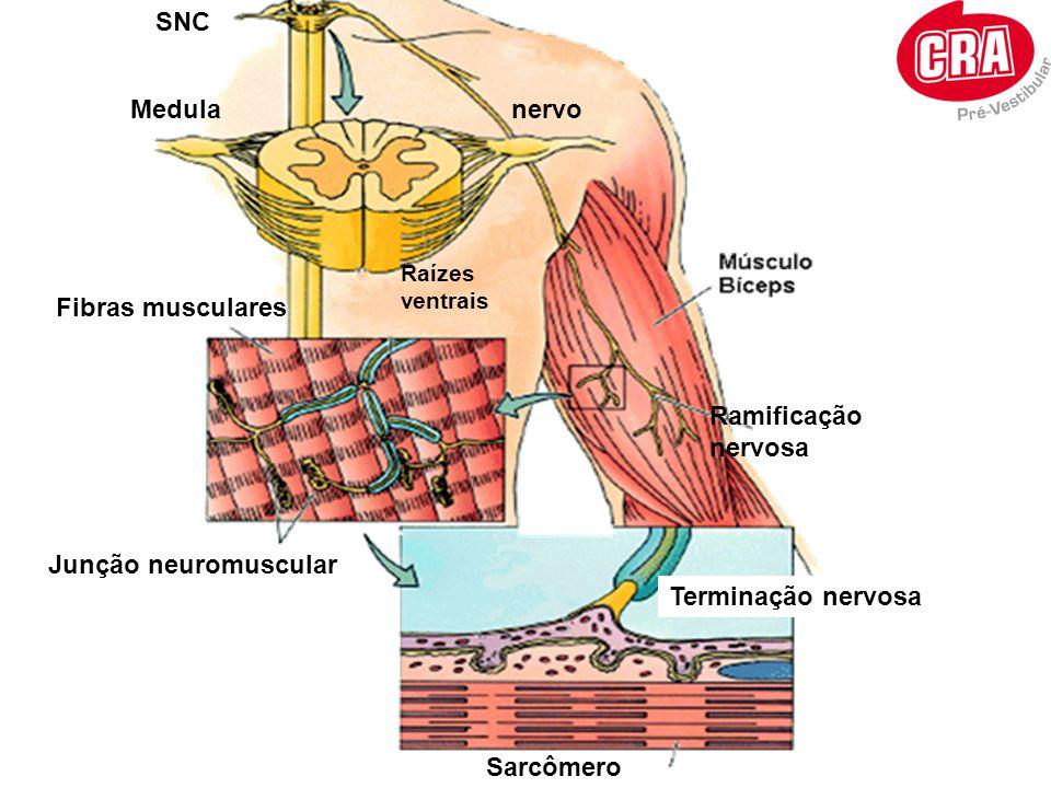SNC Medula Raízes ventrais Fibras musculares Junção neuromuscular nervo Sarcômero Terminação nervosa Ramificação nervosa