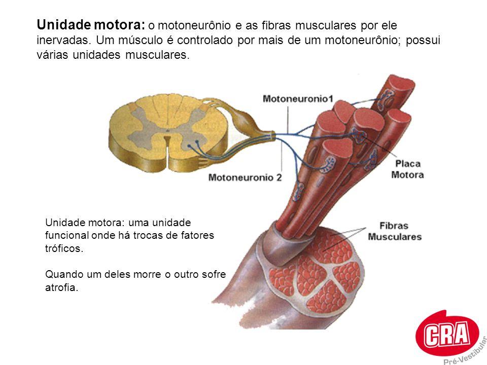 Unidade motora: o motoneurônio e as fibras musculares por ele inervadas. Um músculo é controlado por mais de um motoneurônio; possui várias unidades m