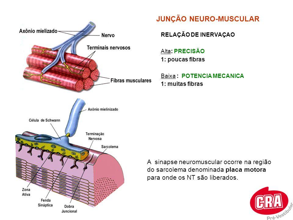 RELAÇÃO DE INERVAÇAO Alta: PRECISÂO 1: poucas fibras Baixa : POTENCIA MECANICA 1: muitas fibras JUNÇÃO NEURO-MUSCULAR A sinapse neuromuscular ocorre n