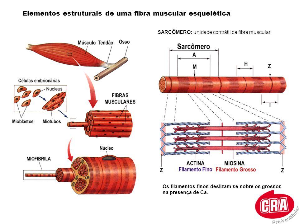Tipos de fibras musculares As fibras de uma unidade motora são todas do mesmo tipo Fibras de abalo lento Muitas mitocôndrias, muitas mioglobinas e bem vascularizado Adaptada para realizar a respiração aeróbica e resistente à fadiga Ex: musculatura postural Fibras de abalo rápido Ricas em fosfagênios e realiza o metabolismo anaeróbico O reticulo sarcoplasmático libera Ca rapidamente Ex: gastrocnêmico