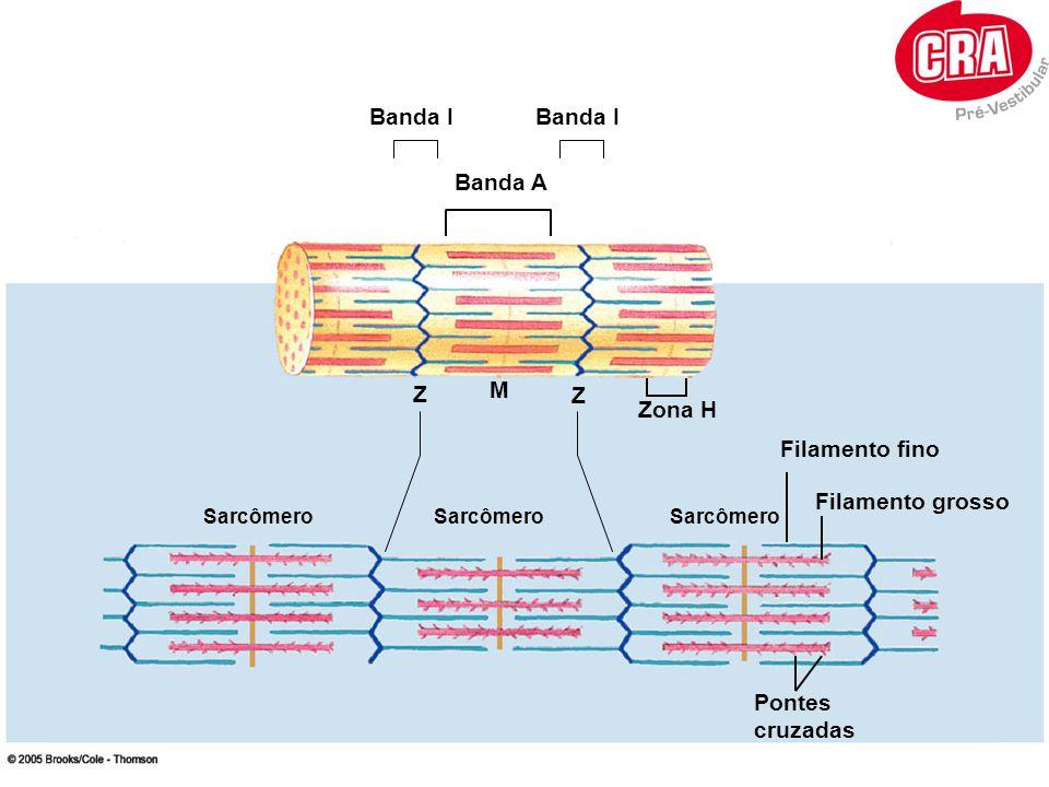 Filamento Grosso FILAMENTO FINO A molécula de miosina possui um sitio de ligação para actina e outro para a ATPase.