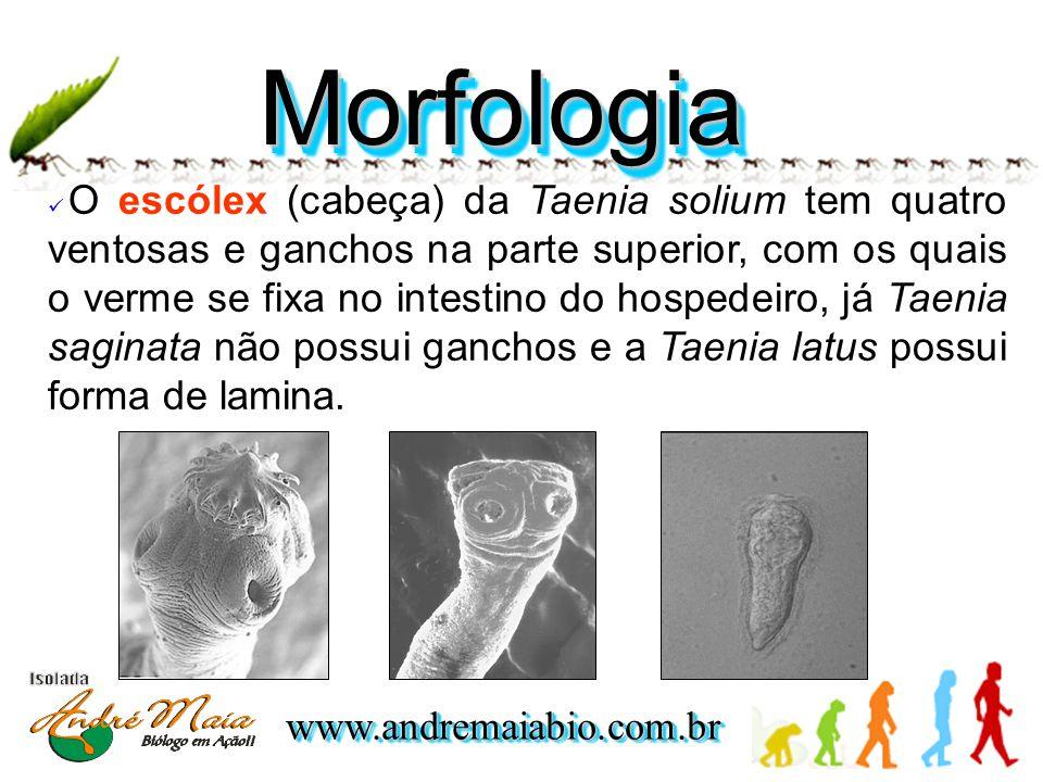 www.andremaiabio.com.brwww.andremaiabio.com.br MorfologiaMorfologia  O escólex (cabeça) da Taenia solium tem quatro ventosas e ganchos na parte superior, com os quais o verme se fixa no intestino do hospedeiro, já Taenia saginata não possui ganchos e a Taenia latus possui forma de lamina.
