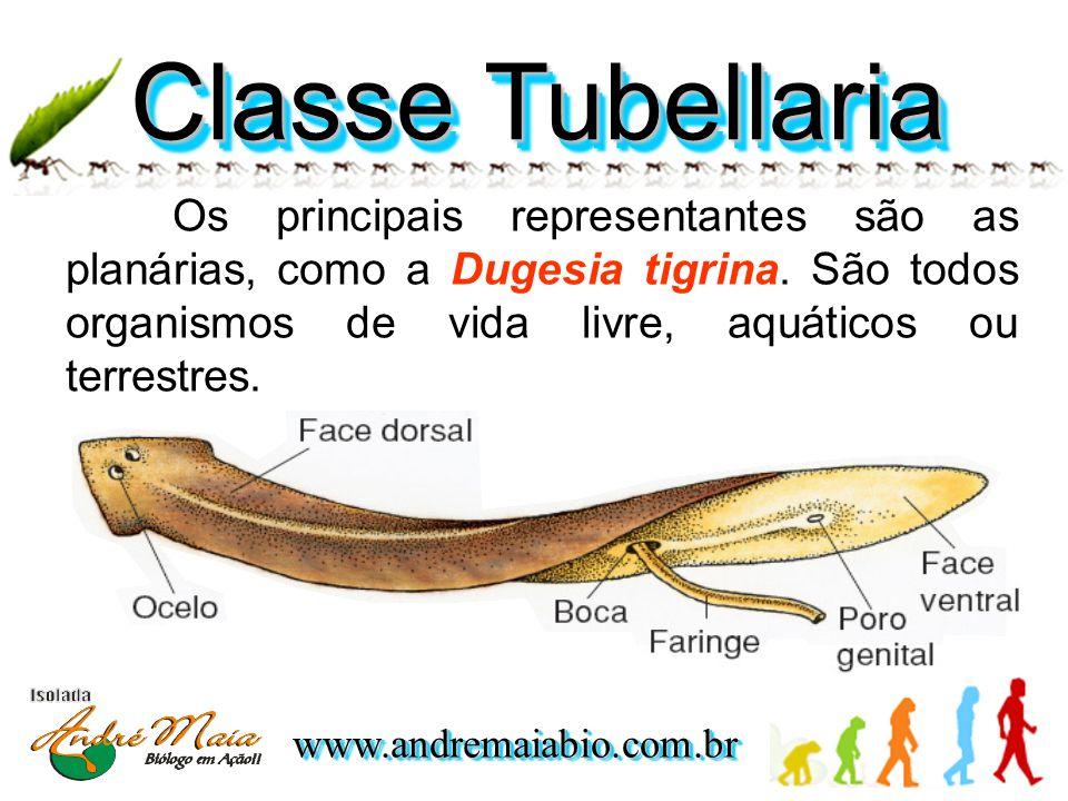 www.andremaiabio.com.brwww.andremaiabio.com.br Classe Tubellaria Os principais representantes são as planárias, como a Dugesia tigrina.
