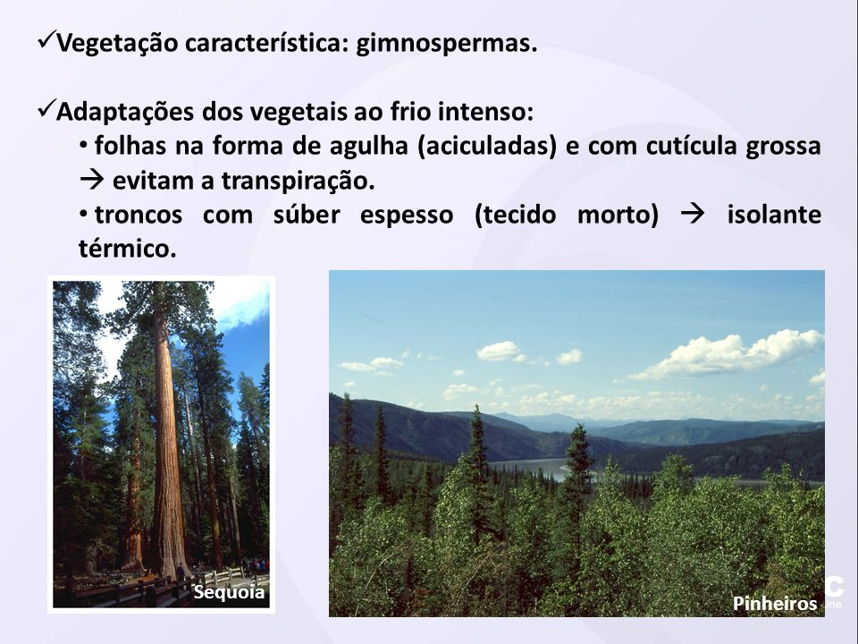  Vegetação característica: gimnospermas.  Adaptações dos vegetais ao frio intenso: • folhas na forma de agulha (aciculadas) e com cutícula grossa 